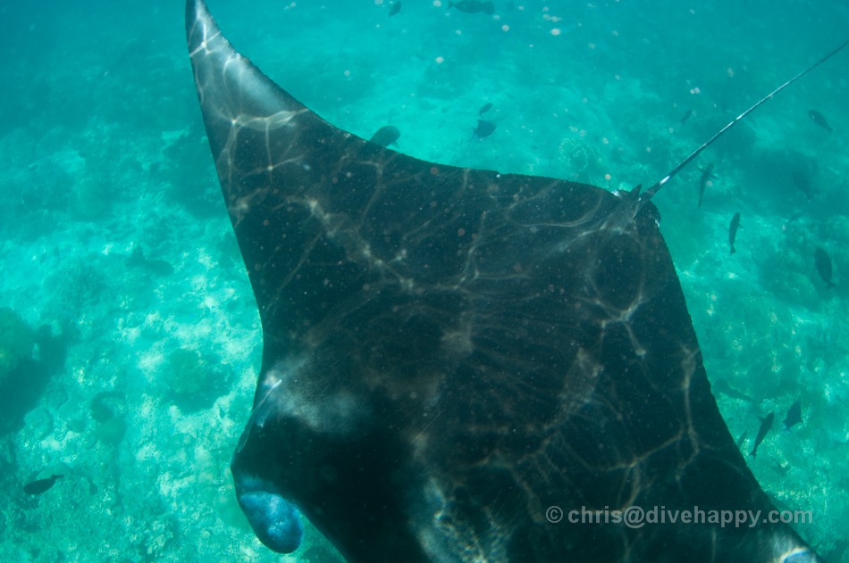 Close Manta encounter, Sangalaki © Chris Mitchell