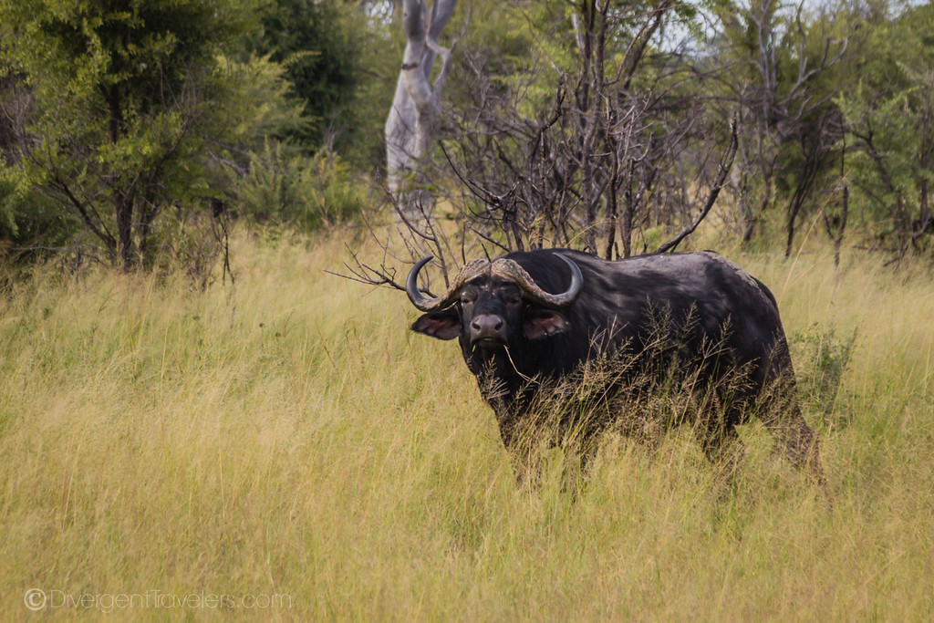 African Safari Animals - Cape Buffalo - Lina Stock
