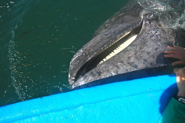 Scammons Whale Trip Feb. 2017
