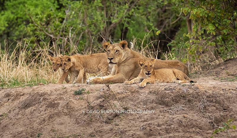 Bili_Lion-n-cubs_1272cc2fxcrop-web.jpg