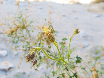 Desert Arrow-leaf (Pleurocoronis pluriseta)