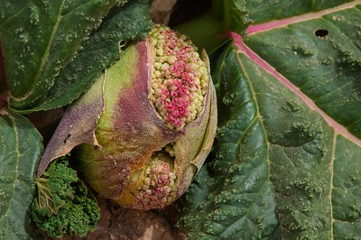 Western Ramon - Ribas- the desert rhubarb (rheum palaestinium)
