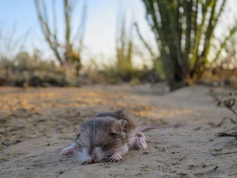 Kangaroo Rat Chihuahuan Desert.jpg