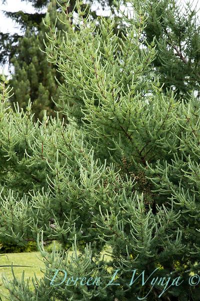 Larix laricina 'Deborah Waxman'_6927.jpg