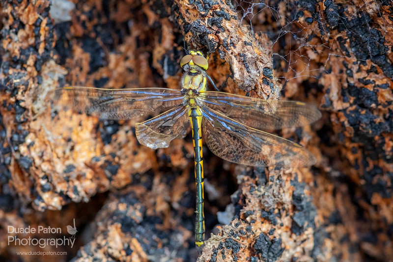 Dragonfly - 1000mm