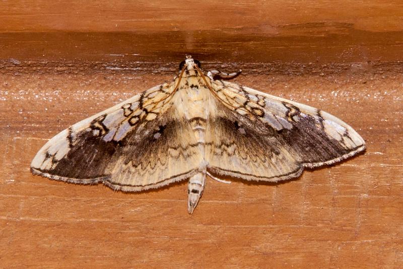 Leafroller - Basswood - (Pantographa limita) - Dunning Lake - Itasca County, MN