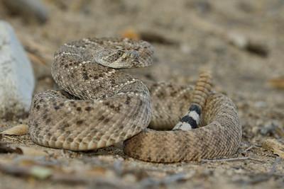 Western Diamondbacked Rattlesnakes