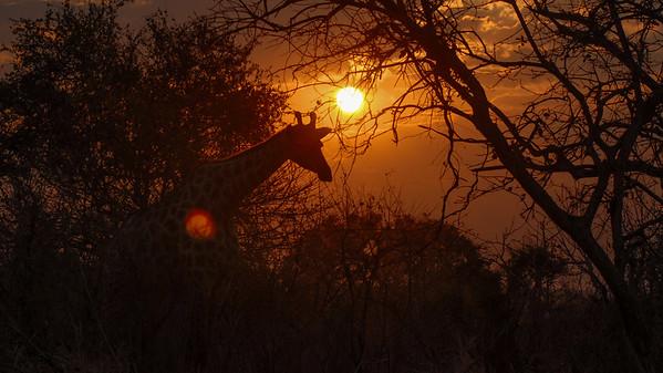 Giraffe, Giraffa camelopardalis. Chobe, Botswana.
