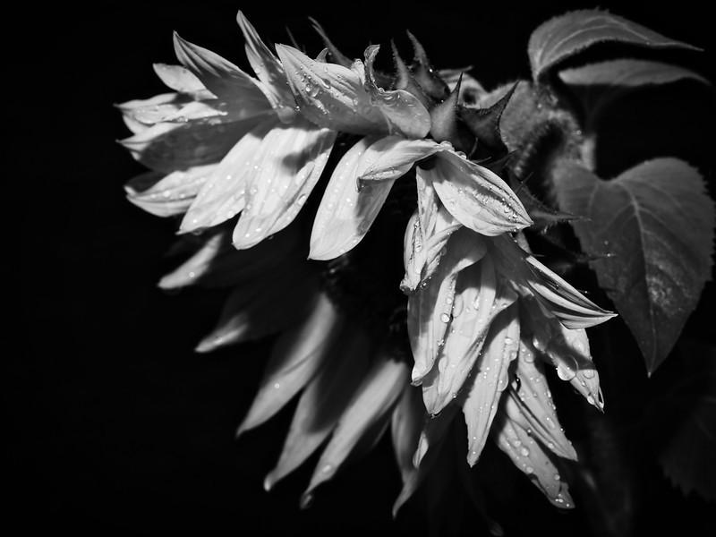 sunflowerbw.jpg