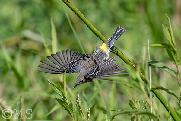 Yellow Rumped Warbler Image Gallery