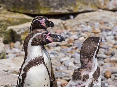 Humboldt Penguin (Spheniscus humboldti)