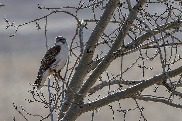 4-14-14 Ferruginous Hawk
