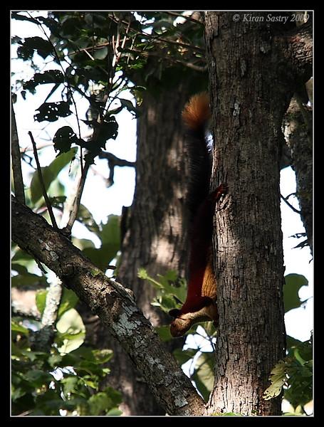 Malabar Giant Squirrel, Kabini, Mysore, Karnataka, India, June 2009