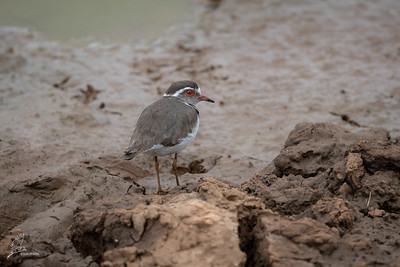 Plover, Three-banded