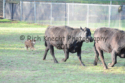 Sunday Cattle