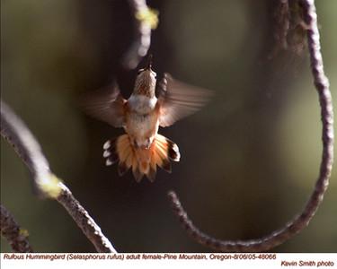 RufousHummingbirdF48066.jpg