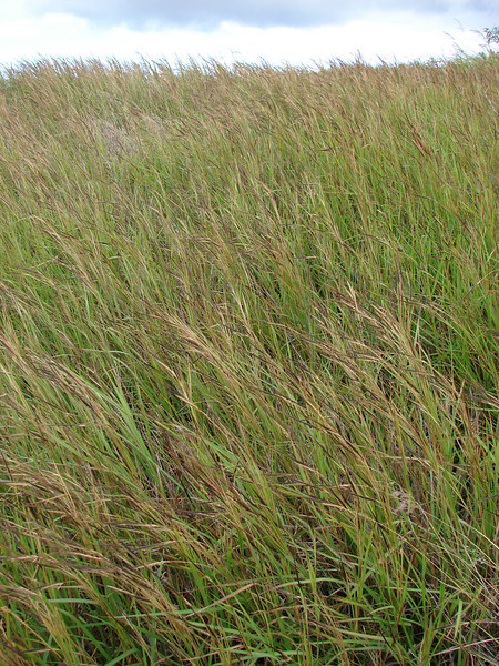 Pure stand of Heteropogon contortus (Poaceae) (pili grass) at Puu Moaulanui Kahoolawe February 09 2008 starr-080209-2657.jpg