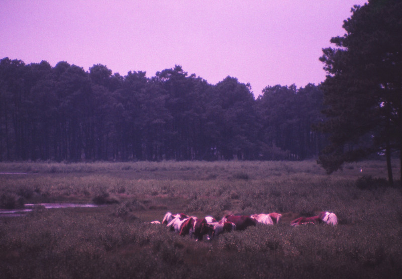 Chincoteague 1981-07 018.jpg