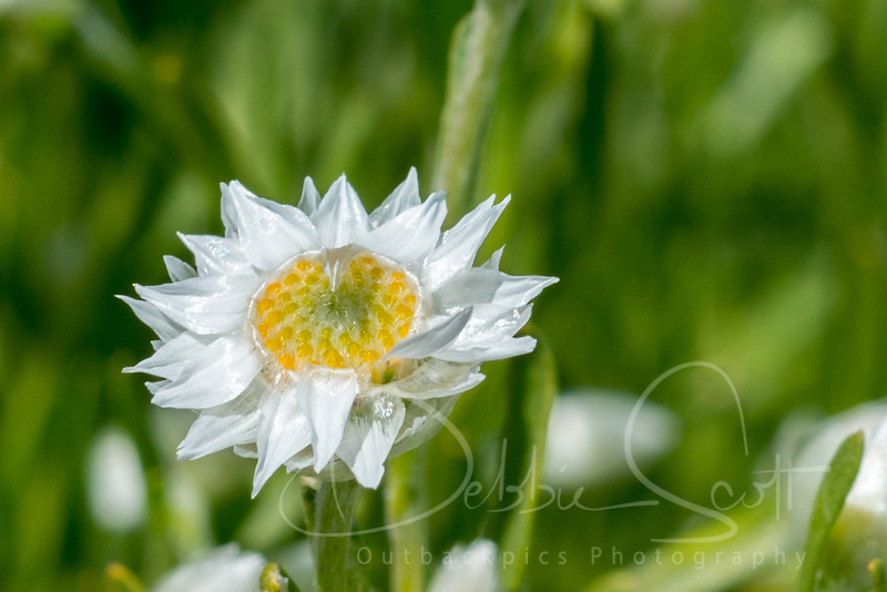 Outbackpics Flora