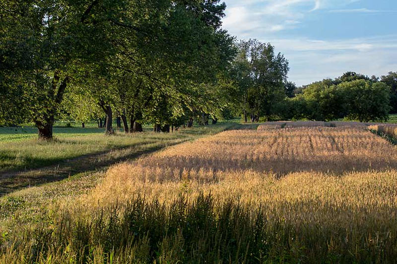 Z73A9230-neat-wheat-www.jpg
