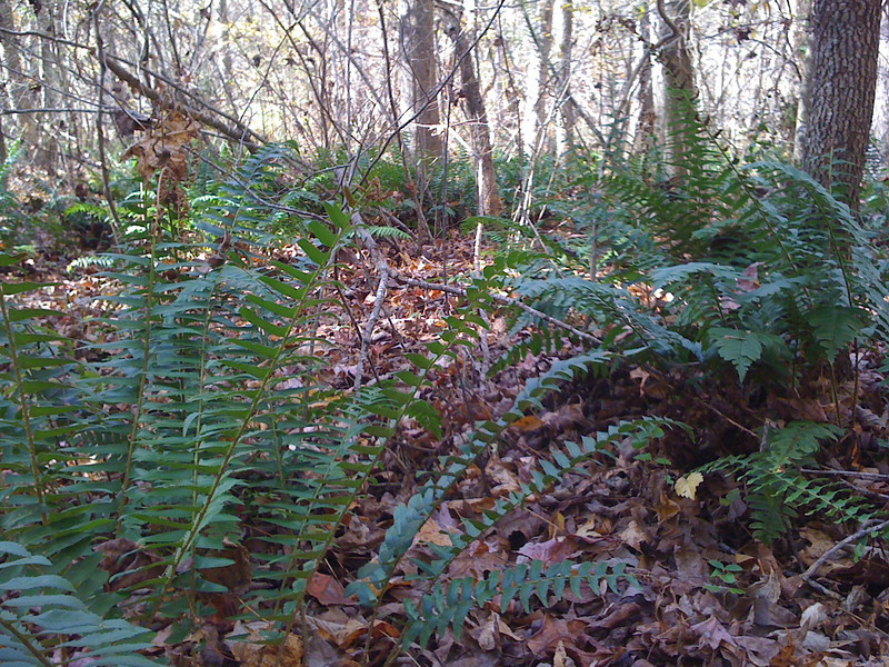 Lots of wild ferns in the woods here. The smell fabulous.