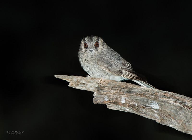 Australian Owlet-nightjar, Hattah-Kulkyne NP, VIC, Aus, Aug 2012.jpg