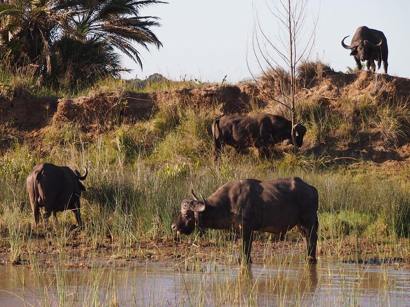 P5036037-cape-buffalo.JPG