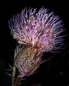 Thistle in Color set 2128