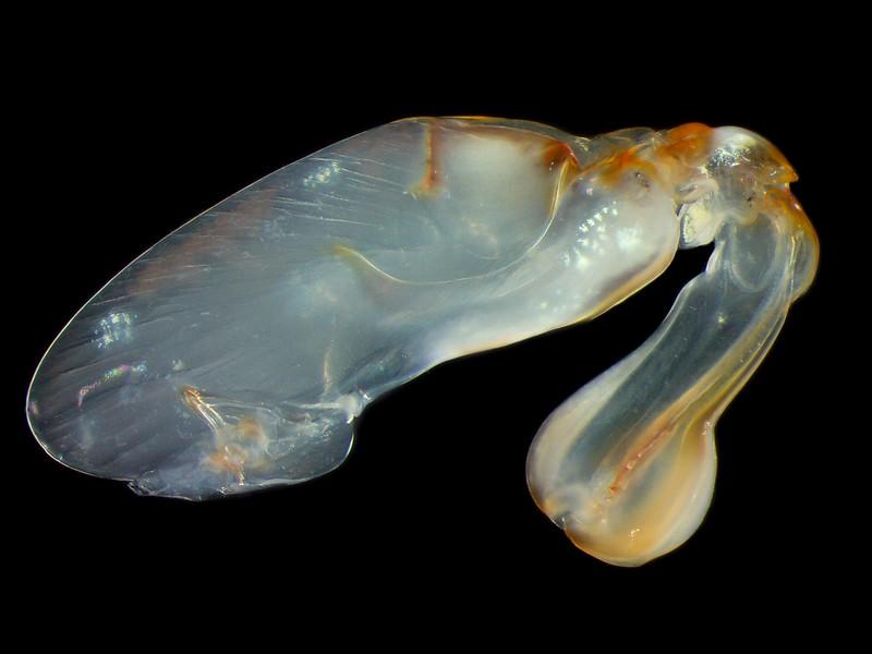 Chorisquilla hystrix raptoral appendage