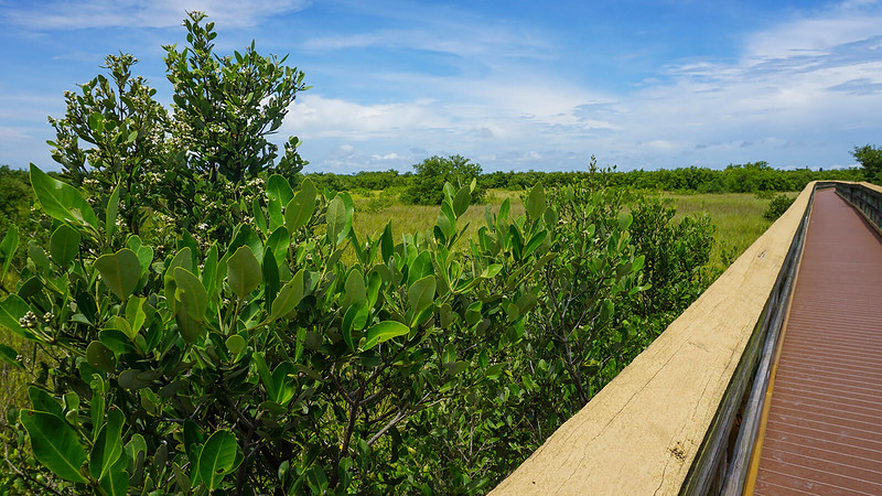 Boardwalk through coastal prairie with scattered mangroves