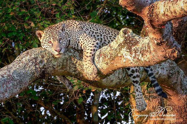Brazil Jaguars