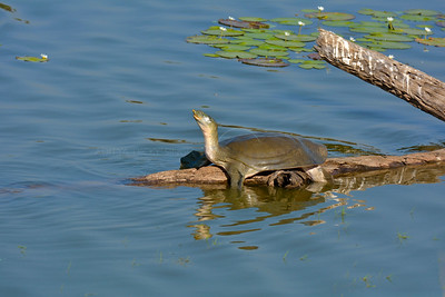 Indian softshell turtle