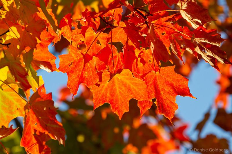 maple leaves wearing bright orange