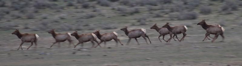 Elk herd Yellowstone National Park WY IMG_5101.jpg