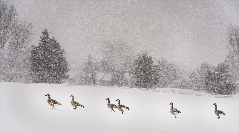 134.Jim Shane.1.Canadian Heavy Snow Geese.jpg