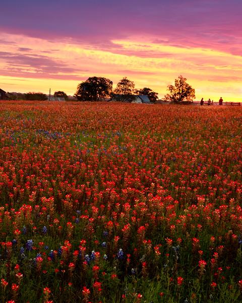 Field of wildflowers at sunrise - near Brenham, Texas