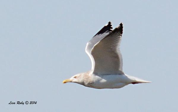 Herring Gull - 1/18/2014 - Salt Works