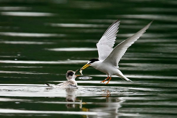 Terns (4 Species)