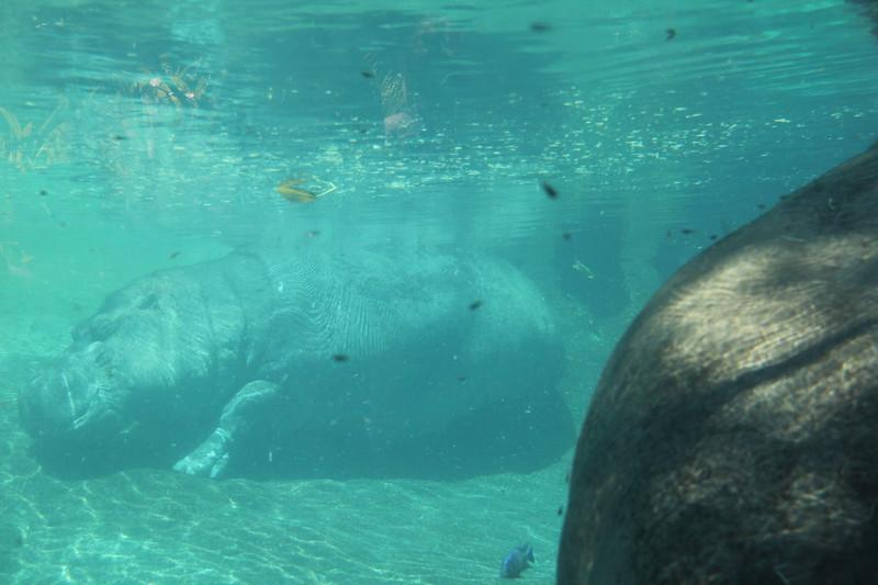 20170807-164 - San Diego Zoo - Hippo.JPG