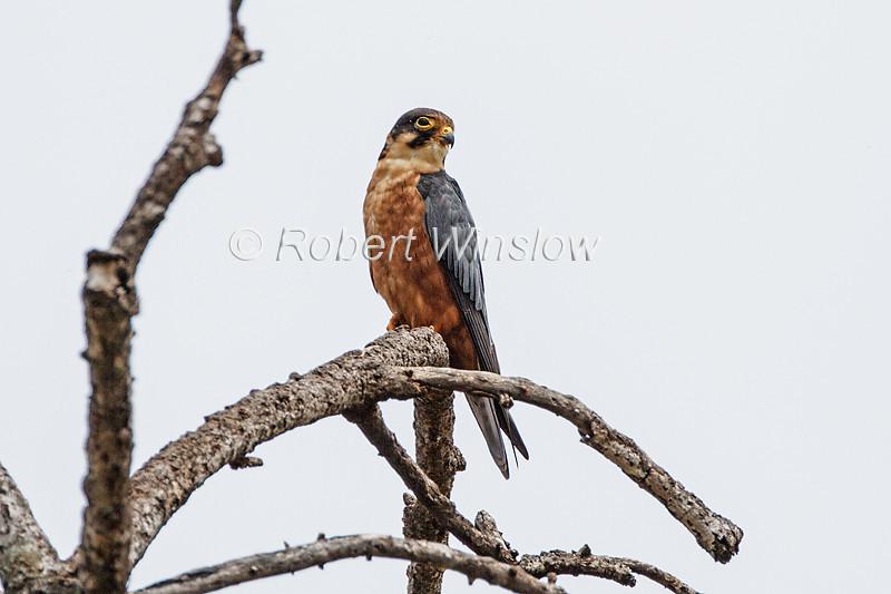 African Hobby, African Hobby Falcon, Falco cuvierii,  Falco cuvieri, Masai Mara National Reserve, Kenya, Africa