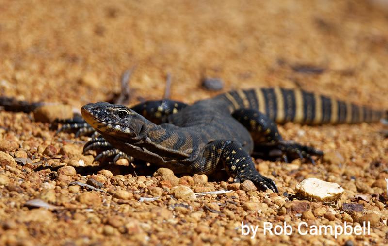 Gould's Monitor lizard. Warren River National Park, near Pemberton, south west Western Australia.