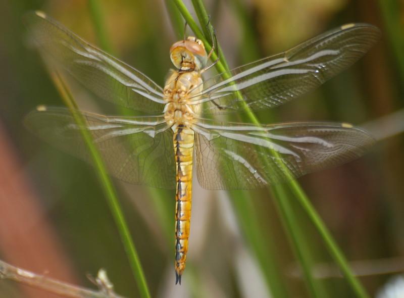 Pantala flavescens (Wandering Glider), GA  - male