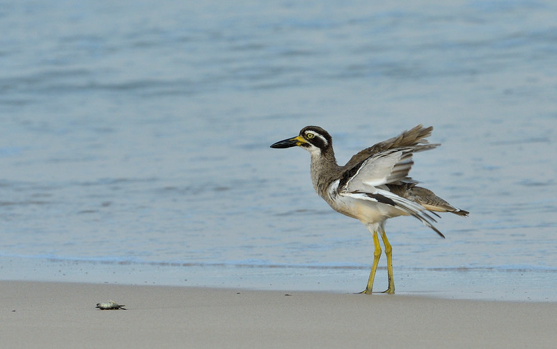Beach-Thick-knee-with-crab-little-andaman-12.jpg