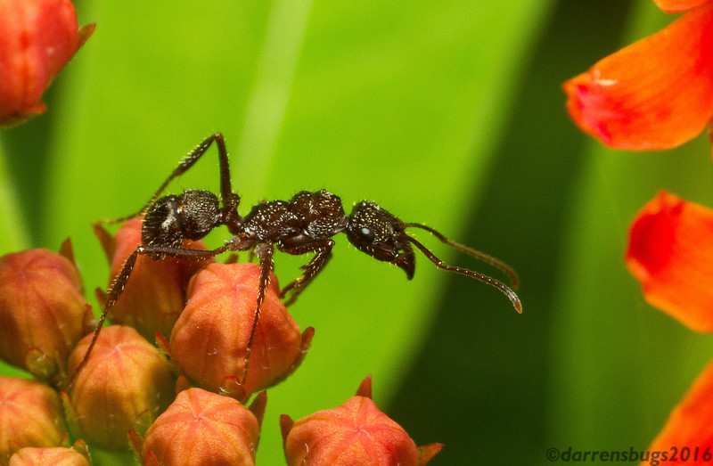 This lovely ant from Panama (Ectatomma sp.) has a unique gnarled appearance, as if carved from wood.