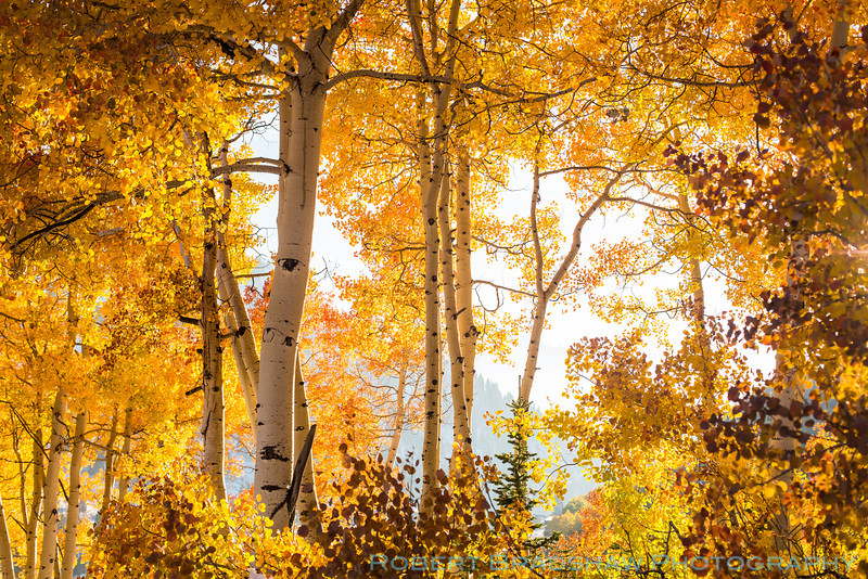 Fall aspens in Little Cottonwood Canyon