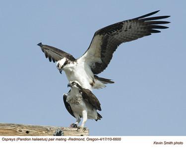 OspreysP6600.jpg