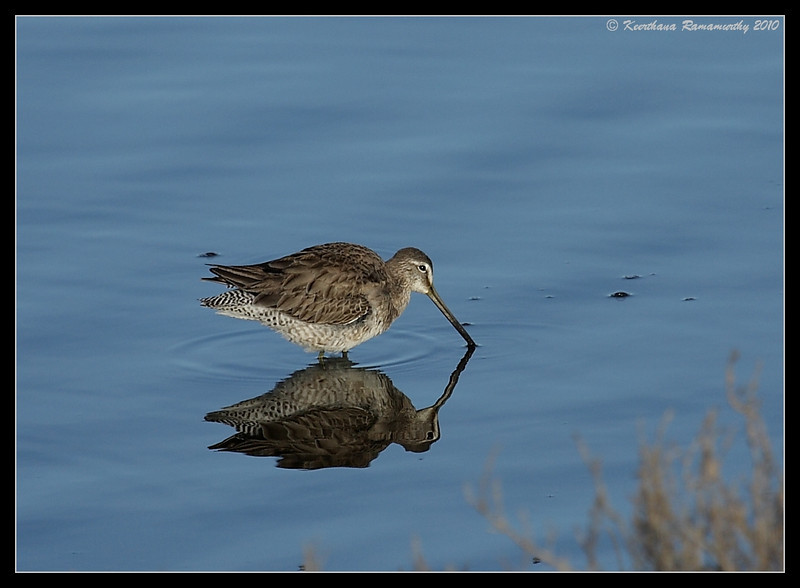 Long-billed Dowitcher, San Elijo Lagoon, San Diego County, California, February 2010