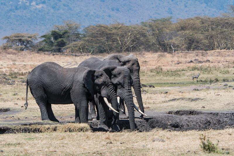 Tanzania Ngorongoro Crater, elephants-4370.jpg