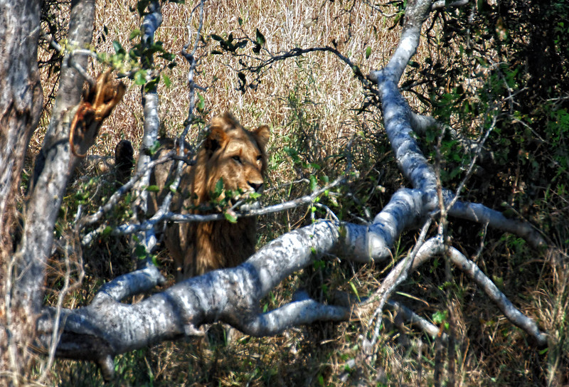 Lion in the bushes with a  cub (not seen).