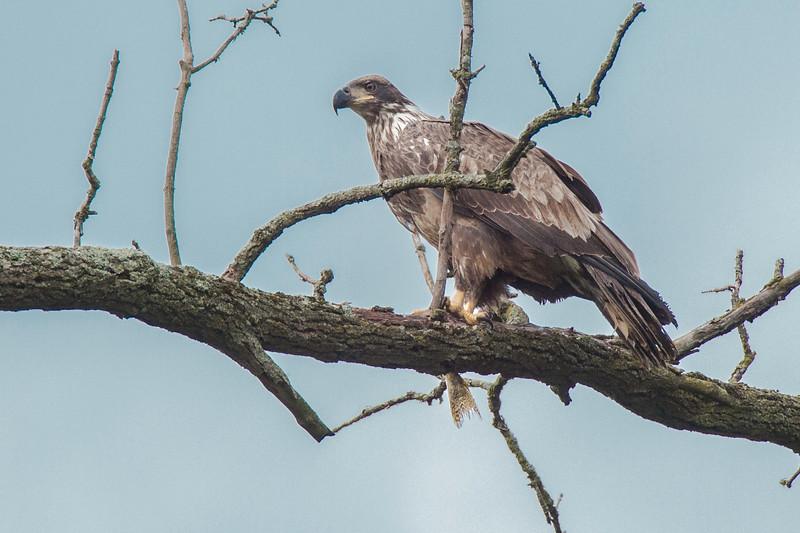 Imature Bald Eagle-1.jpg